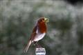 Robin - Erithacus rubeecula