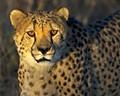 Cheetah gaze.