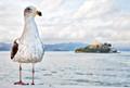 Jailbird - Gull with Alcatraz