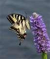 tiger swallowtail #3 copy