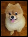 Fluffy the Pomeranian