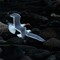 Gulls after lobster scraps-8