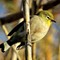 cape_white_eye