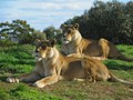 Lions at Werribee Zoo