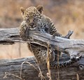 Leopard cub recovering from balance problem. Simbavati game lodge, South Africa.
