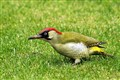 Woodpecker (Green)