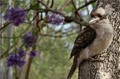 Inquisitive Kookaburra