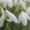 Spring flower Zeiss 24 on nex