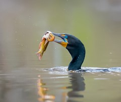 Double crested cormorant catching a catfish