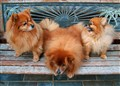 3 Pomeranians--Welcoming the New Dog