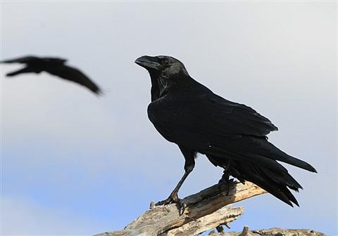 Raven5