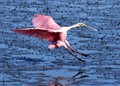 Spoonbill Coming In
