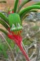 Kangaroo Paw, Western Australia's Floral Emblem