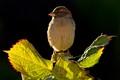 sparrow crest