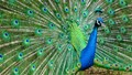 Peacock in all its Finery