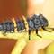 Ladybug Lavae