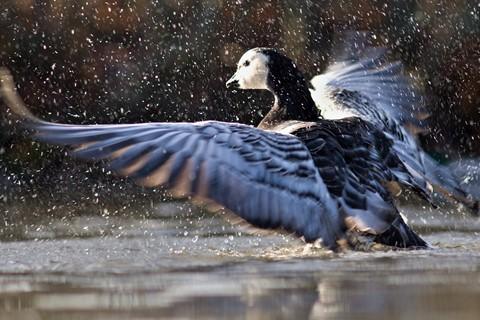 Barnacle Goose splash