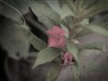 Keembung flower..
