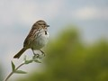 A Solitary Song Sparrow