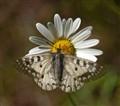 Butterfly & Daisy