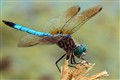 Dragonfly on a broken reed.