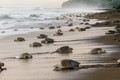 """Arribada"" of Olive Ridley turtles, Ostional Beach, Costa Rica"