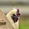 Barnyard Rooster: