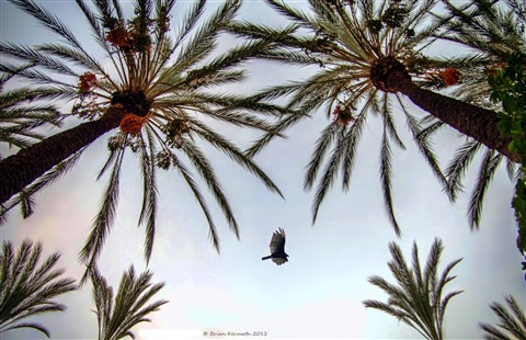 Vulture in the date palms (Phoenix dactylifera - Arecaceae)