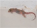 mediterranean gecko and his dinner