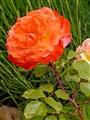 Rose & Green
