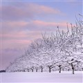 Orchard Slumber