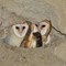 barn owl with mouse 2016 2000x1500
