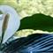 Spathiphyllum Flower
