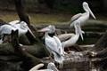 Pelicans_MG_9728