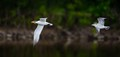 A gull chasing a Tern - trying to get the Tern's fish