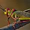 Emperor locust Acrididae sp