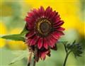 red hybrid sunflower