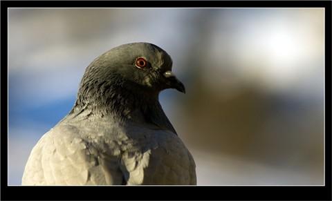 Pigeon_Beercan