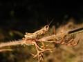 Grasshopper on a dark