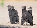 vulture6 dp