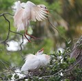 Cattle-Egrets-Nesting