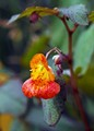 Spotted Jewelweed, (Impatiens capensis)