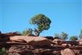 Hearty Pinon Pine