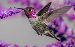 Hummingbird Tight