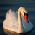 Swan at veerse Meer, Nertherlands