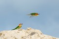 A pair of Chest-nut Headed Bee Eaters at their nesting site.