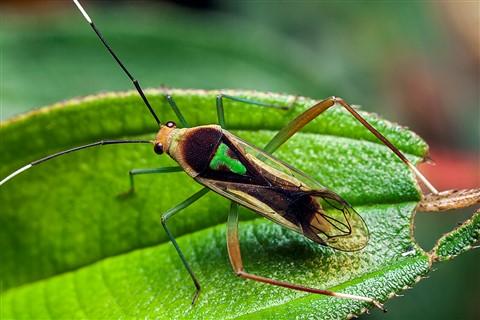 PB152686 T bug