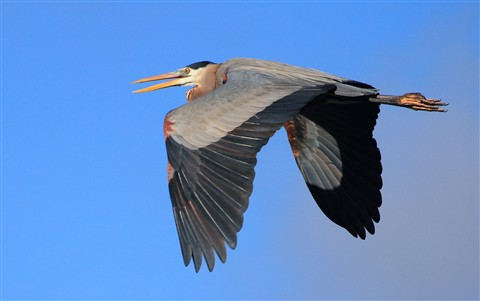 Great Blue Heron4