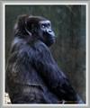 Gorilla with Attitude