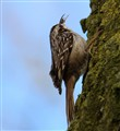 short-toed tree creeper